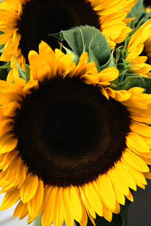 Sunflower oil is just one of the vegetable oils used to create an emollient soap base for EarthGift Herbals.
